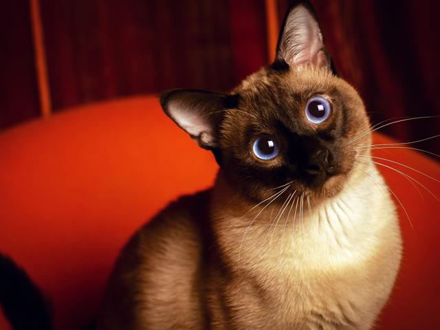 Милый взгляд сиамской кошки