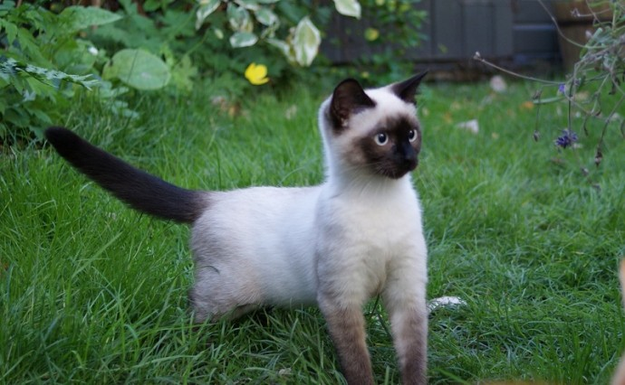 Сиамская кошка на прогулке