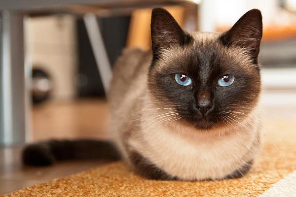 Сиамская кошка с большими раскосыми глазами голубого окраса.