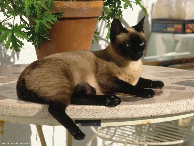 Сиамская кошка – эталон красоты и грации